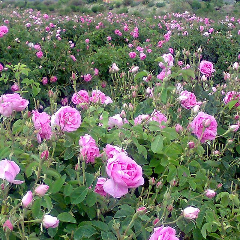 Rose essential oil research